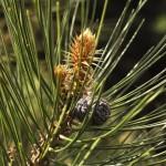 Pinus leucodermis, a dimora dal 2009 (foto Enrico Beduzzi 04-2016)
