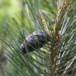 Pinus leucodermis, a dimora dal 2009 (foto 06-2016)
