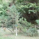 Pinus mugo, a dimora dal 1996 (foto 2015)
