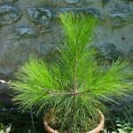 Pinus montezumae, seminato nel 2008 (foto 2015)