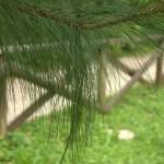 Pinus montezumae, seminato nel 2008, a dimora dal 2011 (foto 2015)
