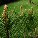 Pinus mugo, a dimora dal 1996 (foto 04-2015)