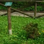 Pinus mugo, a dimora dal 2011 (foto 2015)