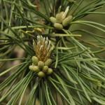Pinus mugo, a dimora dal 1996 (foto Enrico Beduzzi 04-2016)
