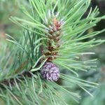 Pinus mugo, a dimora dal 1996 (foto 06-2016)