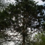 Pinus nigra, a dimora dal 1996 (04-2015)