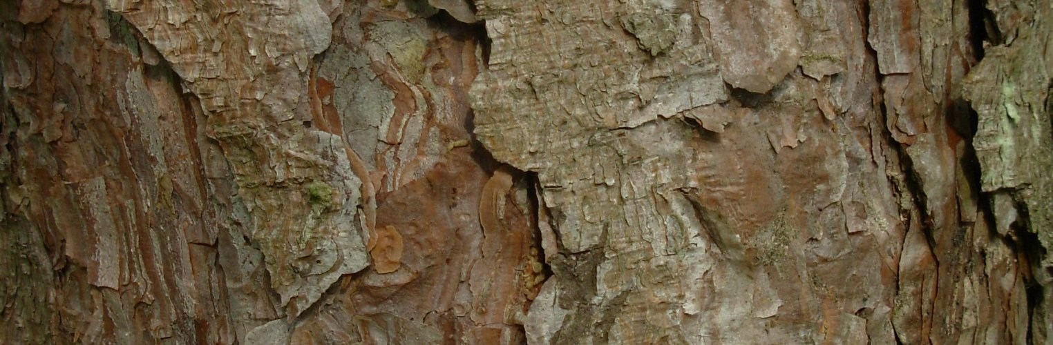 Pinus nigra, a dimora dal 1996, foto 2015