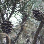 Pinus nigra, a dimora dal 1996 (07-2016)