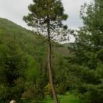 Pinus pinaster, a dimora dal 1996 (foto 2015)