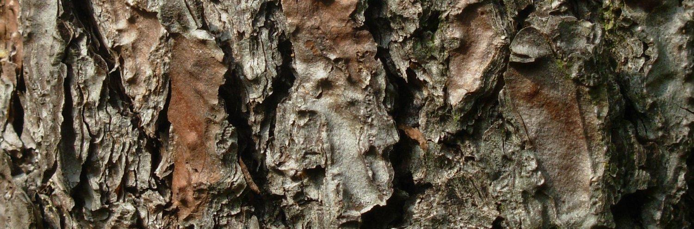 Pinus pinaster, a dimora dal 1996, foto 2015