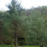 Pinus strobus, i tre esemplari a dimora dal 1996 (foto 04-2015)