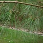 Pinus strobus, a dimora dal 1996 (foto aprile 04-2015)