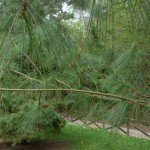 Pinus strobus, a dimora dal 1996 (foto 04-2015)