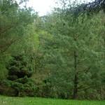 Pinus strobus, due degli esemplari a dimora dal 1996 dal portamento differente (foto 04-2015)