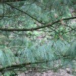 Pinus strobus, a dimora dal 1996 (foto 05-2016)