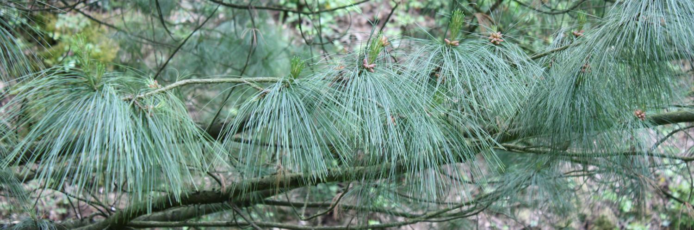 Pinus strobus, a dimora dal 1996 (foto 06-2015)