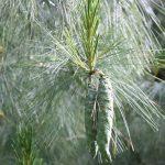 Pinus strobus, a dimora dal 1996 (foto 06-2016)