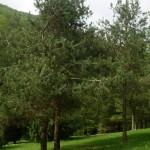 Pinus sylvestris, a dimora dal 1996 (foto 04-2015)