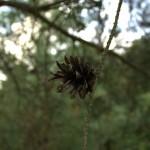 Pinus sylvestris, a dimora dal 1996 (foto 06-2015)