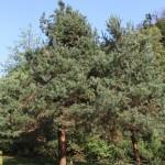 Pinus sylvestris, a dimora dal 1996 (foto 09-2015)