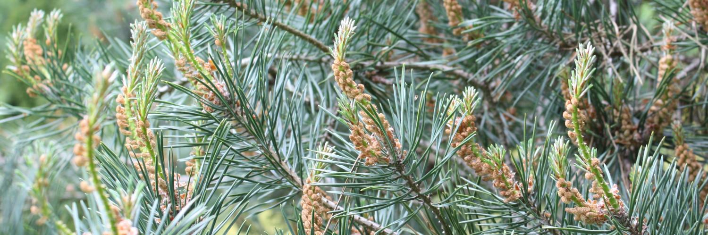Pinus sylvestris, a dimora dal 1996 (foto 05-2016)