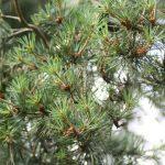 Pinus sylvestris, a dimora dal 1996 (foto 06-2016)