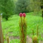 Pinus tabuliformis, a dimora dal 2009 (foto 2009)