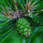 Pinus tabuliformis, a dimora dal 2009 (foto 2011)