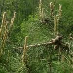 Pinus tabuliformis, a dimora dal 2009 (foto 04-2015)