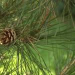 Pinus tabuliformis, a dimora dal 2009 (foto 2015)