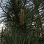 Pinus tabuliformis, a dimora dal 2009 (foto 04-2016)