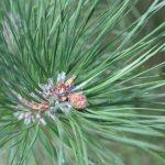 Pinus tabuliformis, a dimora dal 2009 (07-2016)