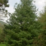 Pinus wallichiana, a dimora dal 1996 (foto 2015 - altezza 12 metri)