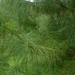 Pinus wallichiana a dimora dal 1996, foto 2015