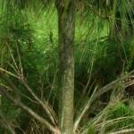 Pinus wallichiana a dimora dal 2013, foto 2015