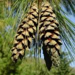 Pinus wallichiana a dimora dal 1996 (foto 2006)