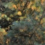 Pinus wallichiana a dimora dal 1996, foto P. Bettoni 2010
