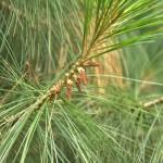 Pinus wallichiana, a dimora dal 1996 (foto 2015)