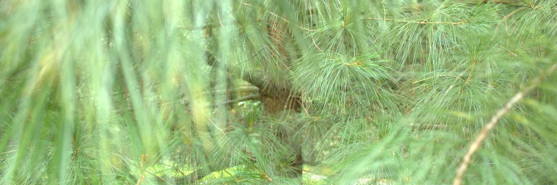Pinus wallichiana, a dimora dal 1996 (foto Valeria Berretti 2015)