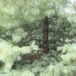 Pinus wallichiana a dimora dal 1996 (foto 2015)