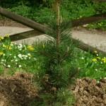 Pinus thumbergii kotobuki, a dimora dal 2015 (foto 04-2015)