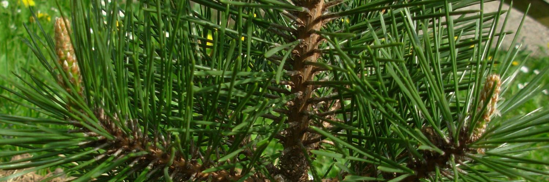 Pinus thumbergii kotobuki, a dimora dal 2015 (foto 2015)