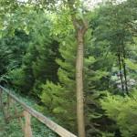Cupressus macrocarpa, a dimora dal 2005 (foto 2015)