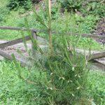Pinus hwangshanensis, a dimora dal 2015 (foto 06-2016)