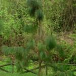 Pinus yunnanensis, a dimora dal 2009 (foto aprile 2015)