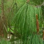 Pinus yunnanensis, a dimora dal 2009 (foto 04-2015)