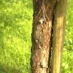 Pinus yunnanensis, a dimora dal 2009 (foto 2015)