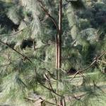 Pinus yunnanensis, a dimora dal 2009 (foto settembre 2015)