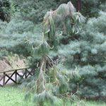 Pinus yunnanensis, a dimora dal 2009 (foto 05-2016)