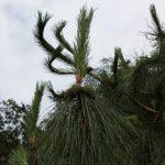 Pinus yunnanensis, a dimora dal 2009 (foto 06-2016)